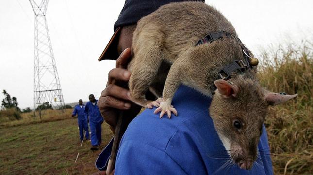 13hero-rats-bomb-demining-africa-apopo-13