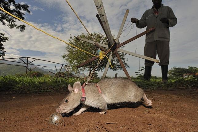 2hero-rats-bomb-demining-africa-apopo-2