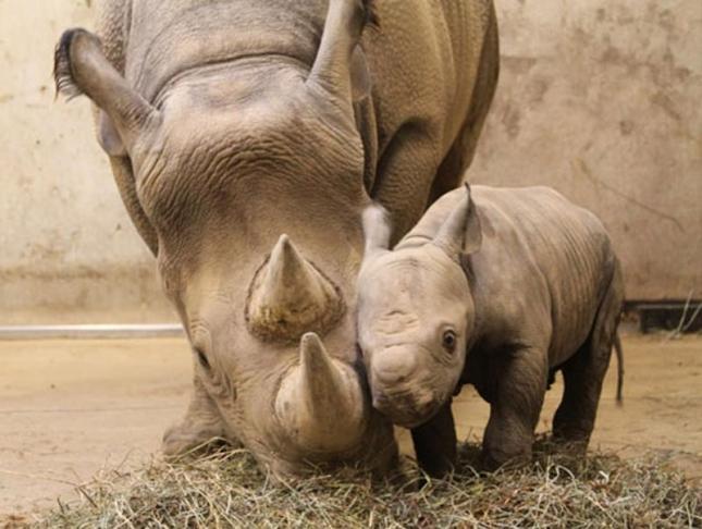 Зоопарк Сент-Луиса. У Мамы Кати Рейн и папы Айябу родился сыночек весом в 5 кг. Это черный носорог, который становится редкостью в Африке.