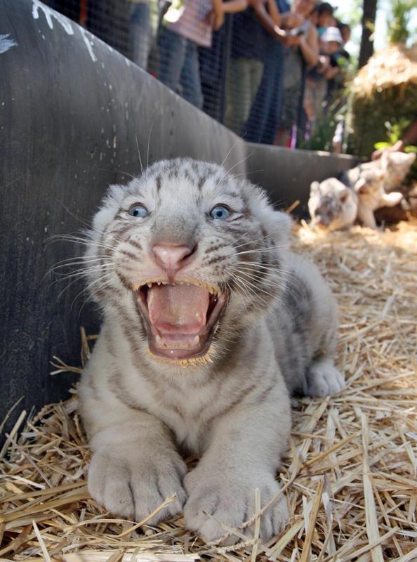 Сантьяго. Белый тигр, малышу несколько недель.
