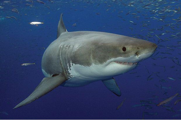 Большая белая акула у берегов Гваделупе, Мексика.