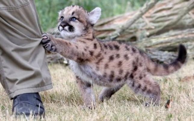 Детеныш пумы, только научился передвигаться. Выкормыш из немецкого зоопарка Tierpark Berlin Zoo.