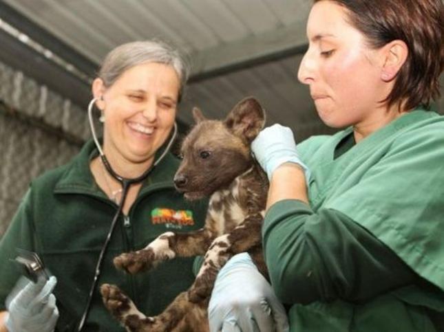 В Австралии, в зоопарке Перта, родился щенок диеговой собаки.