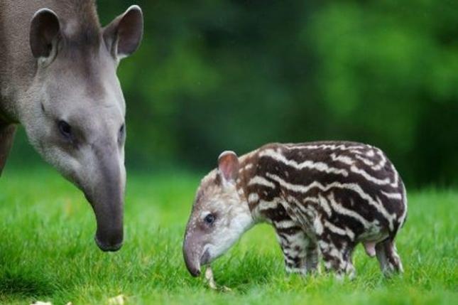Малыш тапира в зоопарке Дублина