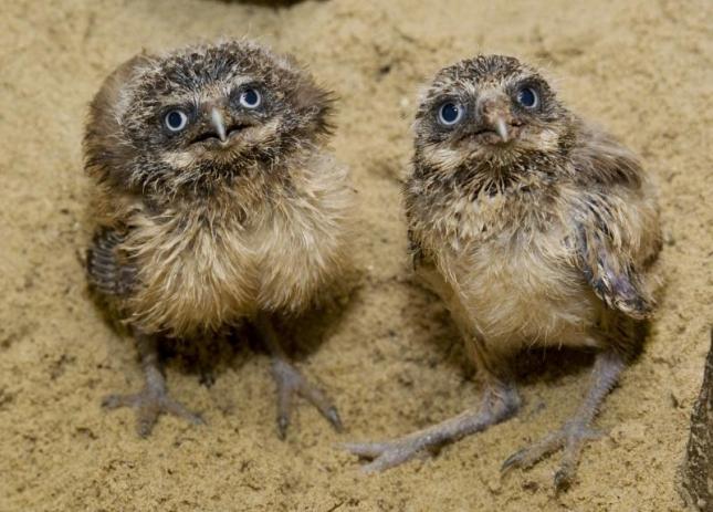 Малыши кроличьей совы, родились в зоопарке Вашингтона.