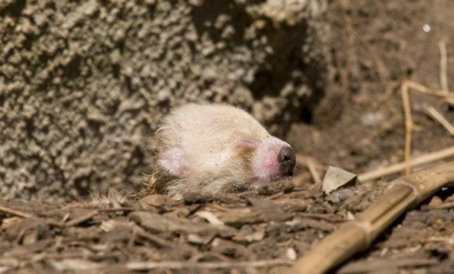 Малыш красной панды (на снимке видна лишь голова, глазки закрыты, повернута вправо, тело спрятано за камушками). Маму из зоопарка Вашингтона зовут Шама.