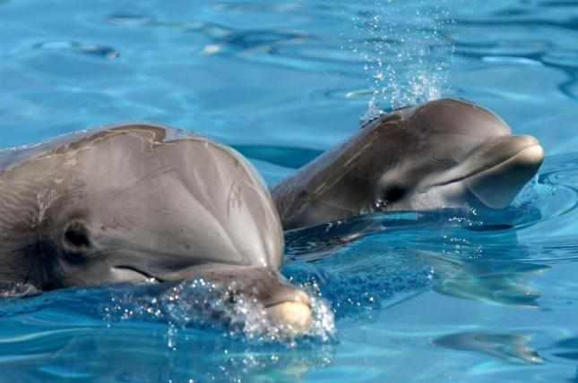 Зоопарк Вельехо в Калифорнии — детеныши дельфина-алафины. Это отпрыски мамочек Жасмин и Челси (23 и 30 лет соответственно).