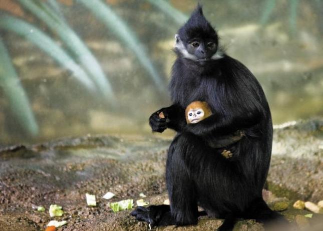 Зоопарк Чикаго, детеныш лангура, храмовой обезьяны, тонкотела.