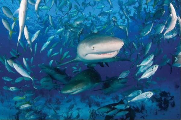 Фотография косяка короткопёрых серых акул во Флориде.