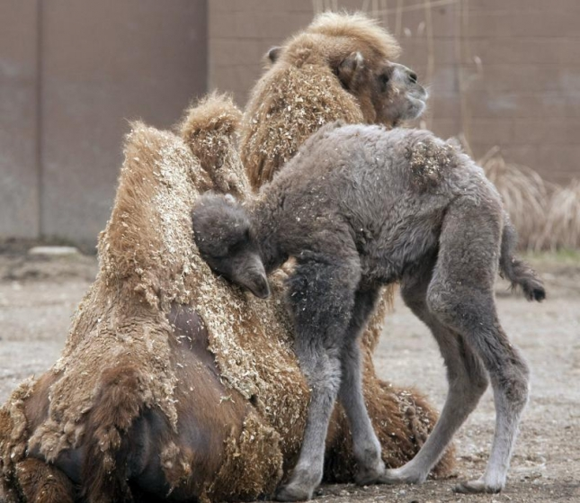 Бактриан (один из крупнейших видов верблюдов). Водятся только в Монголии и то вымирают. Зоопарк Сент-Луиса.