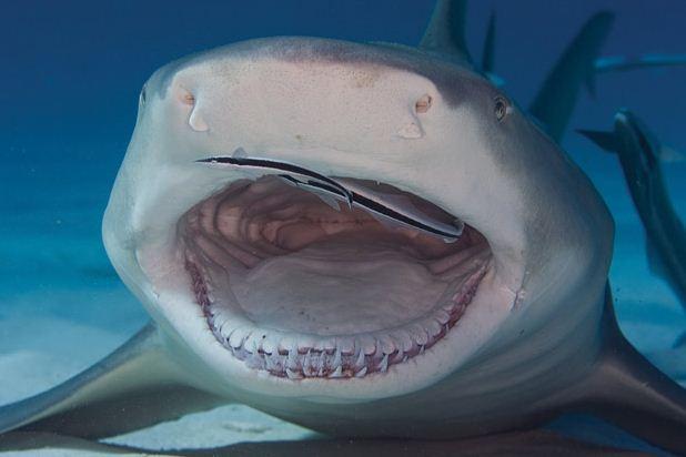 """Подружка Джима, акула Эмма, подполыла """"поцеловать"""" друга, тыкнуться носом в плечо."""