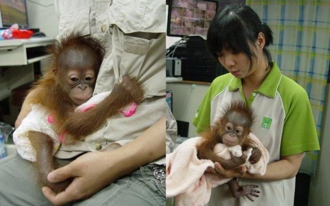 Малыш орангутанга в американском приюте.