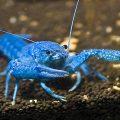 Флоридский синий рак — 300 ₽