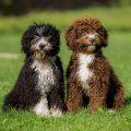 Португальская водяная собака — $5 000