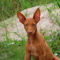 Фараонова собака — $7 500