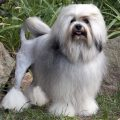 Левхен (Малая львиная собака) — $12 000