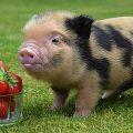 Карликовая свинка — от 3 000 ₽ до 45 000 ₽